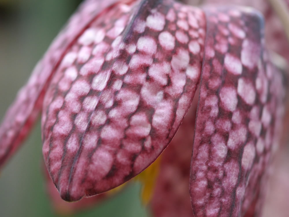 Snakes Head Fritillary video by Harris Digital Productions